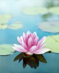lotus flower2